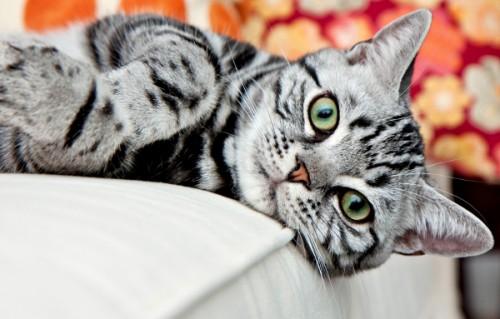 informacion sobre el Gato Wirehair 2