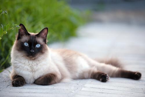 informacion sobre el Gato siamés 2