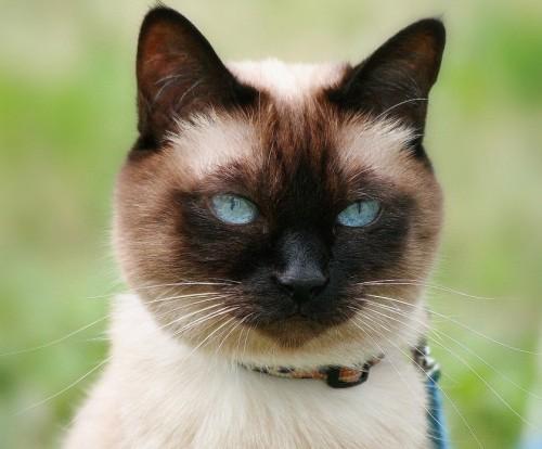informacion sobre el Gato siamés 4