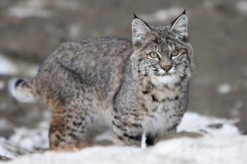informacion sobre el gato montes 1