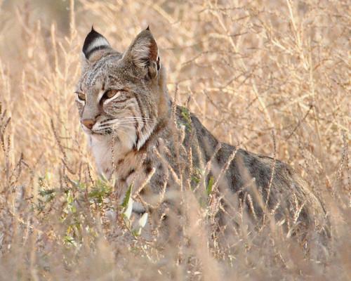 informacion sobre el gato montes 3
