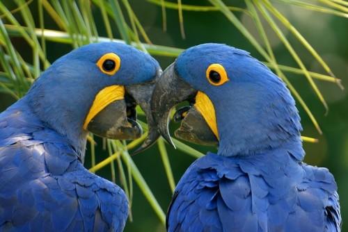 informacion sobre el guacamayo azul 1