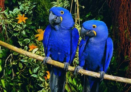 informacion sobre el guacamayo azul 3
