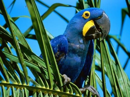 informacion sobre el guacamayo azul 4