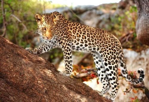 informacion sobre el leopardo 4