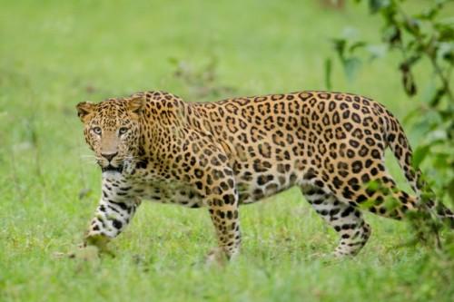 informacion sobre el leopardo 7