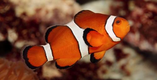 informacion sobre el pez payaso 1