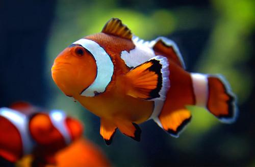 informacion sobre el pez payaso 2