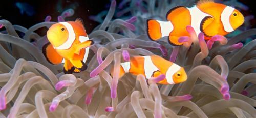 informacion sobre el pez payaso 4