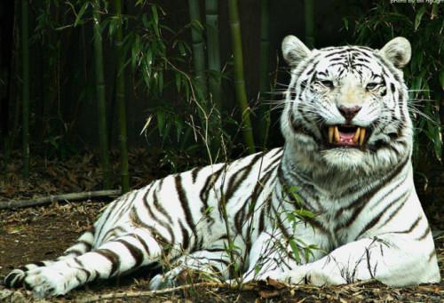 informacion sobre el tigre blanco 3