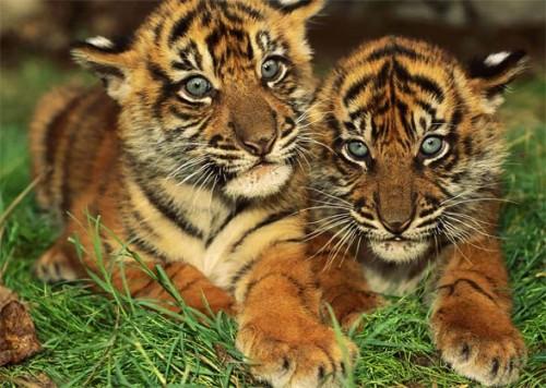 informacion sobre el tigre de bengala 2