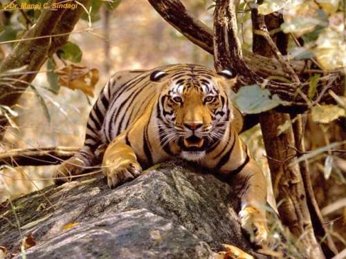 informacion sobre el tigre de bengala 4