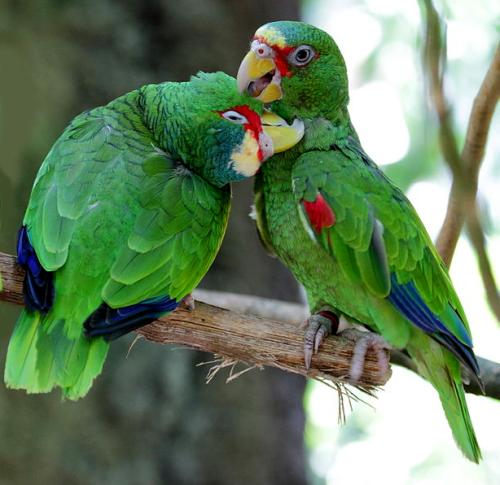 informacion sobre la cotorra amazona…</div>         <div class=