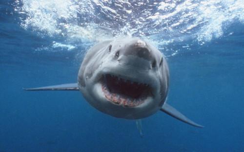 informacion sobre el tiburón 3