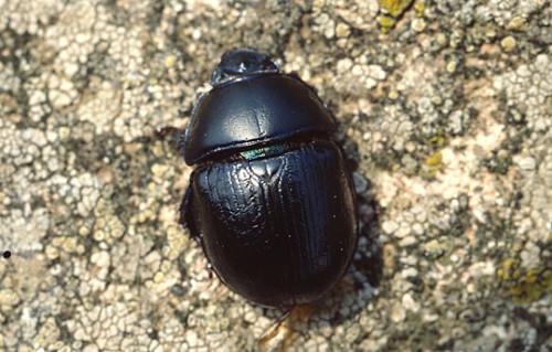 informacion sobre el escarabajo estercolero 1