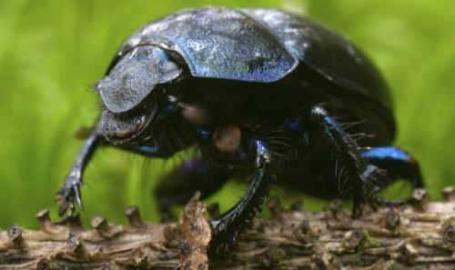 informacion sobre el escarabajo estercolero 2