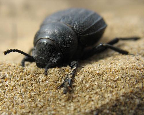 informacion sobre el escarabajo estercolero 3