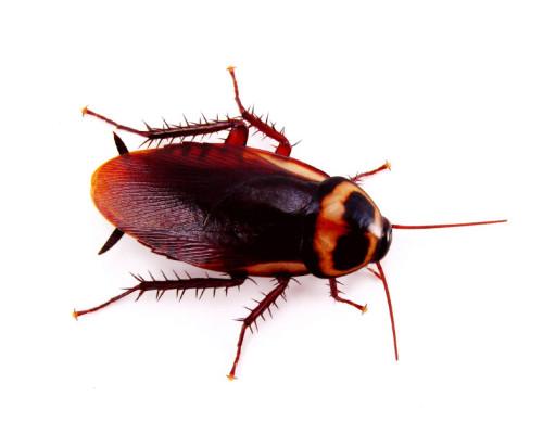 informacion sobre la cucaracha 1