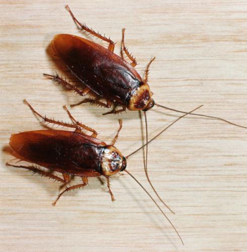 informacion sobre la cucaracha 4