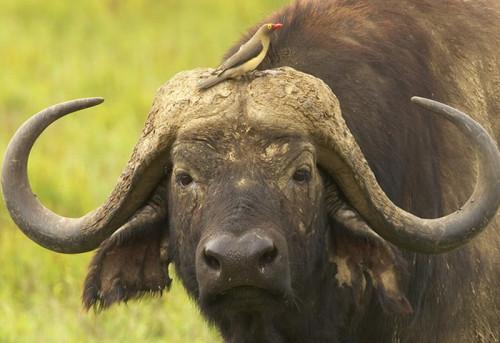 informacion sobre el búfalo 3