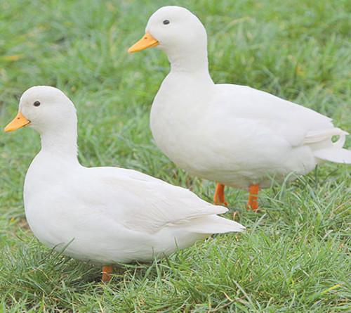informacion sobre el pato 2