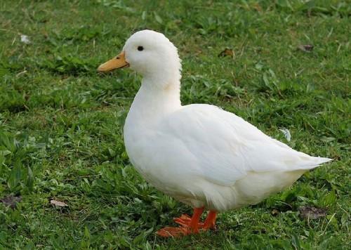 informacion sobre el pato 3