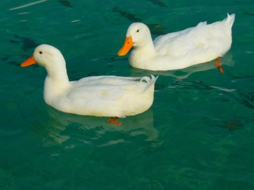 informacion sobre el pato 4