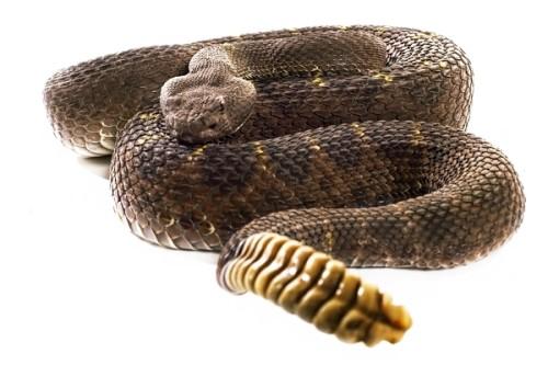 informacion sobre la serpiente cascabel 4
