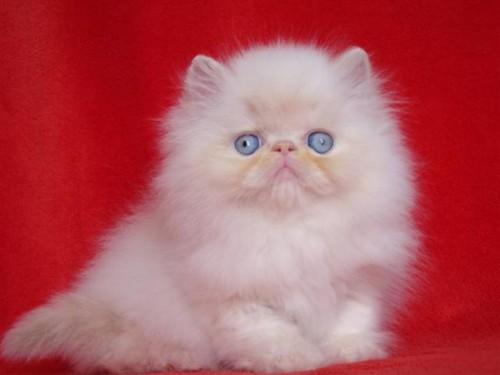 informacion sobre el gato himalayo 3