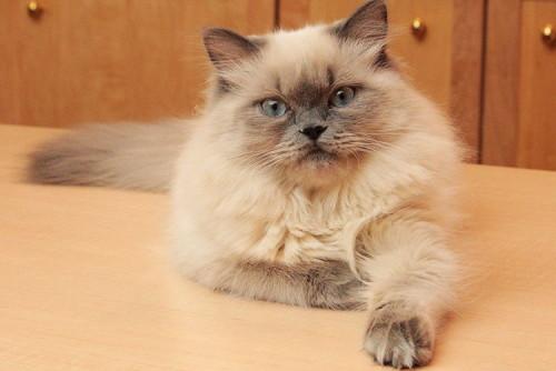 informacion sobre el gato himalayo