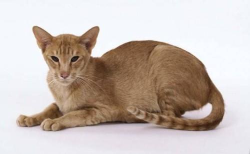 informacion sobre el gato oriental 1