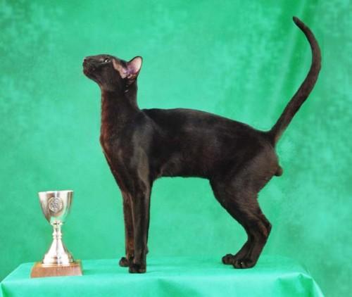 informacion sobre el gato oriental 2