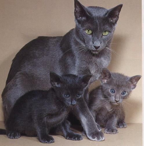 informacion sobre el gato oriental 3