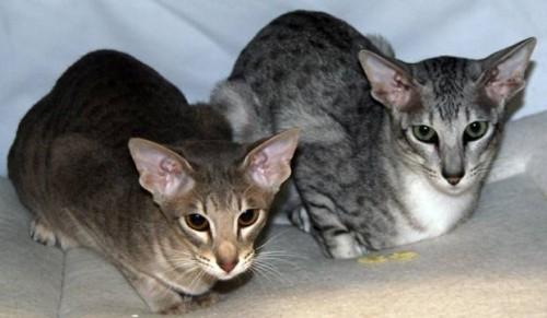 informacion sobre el gato oriental 4