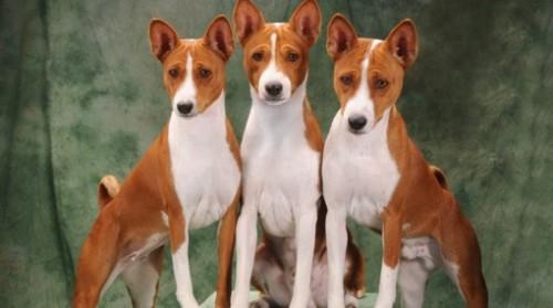 informacion sobre el perro basenji 1