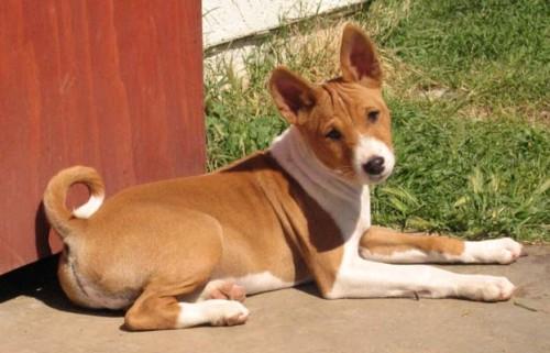 informacion sobre el perro basenji 3