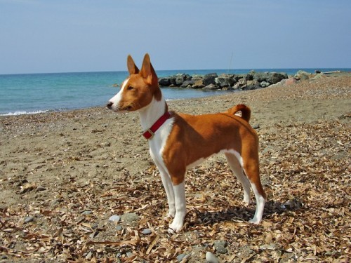 informacion sobre el perro basenji 4