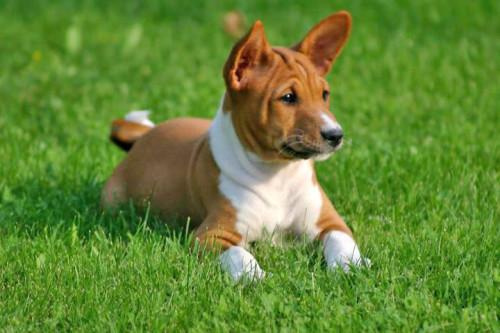 informacion sobre el perro basenji 5