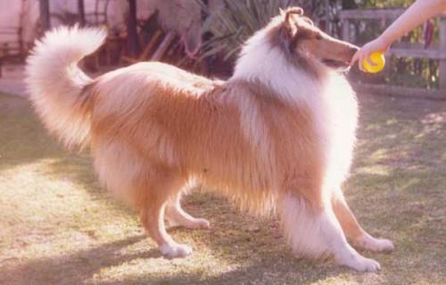 informacion sobre el perro collie 3