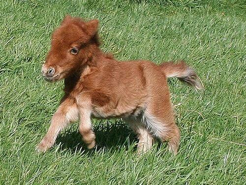 informacion sobre el pony shetland 1