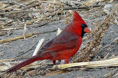 cardenal rojo 1
