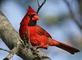 cardenal rojo 3