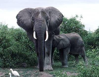 elefante africano de bosque 1