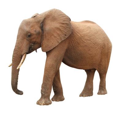 elefante asiatico 1