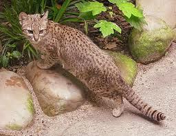gato montes sudamericano 1
