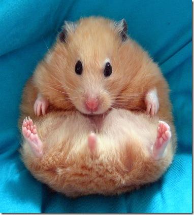 hamster dorado 1