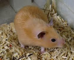 hamster dorado 3