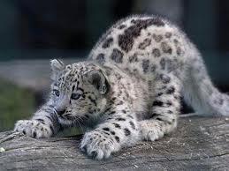 leopardo de las nieves 2
