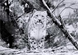 leopardo de las nieves 3