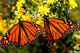 mariposa virrey 1
